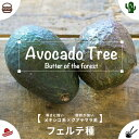 熱帯果樹 【森のバター】 アボカドの木 フェルテ 接木苗