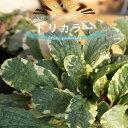 斑入りアジュガ トリカラー 5号ポット大苗 宿根草 苗 多年草 耐寒性 常緑 グランドカバー 日陰