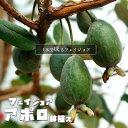 【限定販売】 フェイジョア アポロ 鉢植え品 1年生苗 果樹苗木 果樹苗