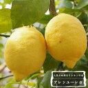 ■送料無料■ レモンの木アレンユーレカレモン2年生 接ぎ木 苗角鉢植え