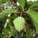 熱帯果樹 【森のアイスクリーム】 アテモヤの木 ジェフナー 接木苗 果樹苗 果樹苗木 【珍しい熱帯果樹】