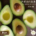 【 ズタノ種 】 アボカド 1年生 接木 苗木 森のバター