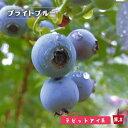 【 ブルーベリー 苗木 】 ブライトブルー ラビットアイ系 2年生苗