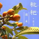【ビワ苗木】 茂木びわ (モギ) 1年生接ぎ木苗 果樹苗木 枇杷