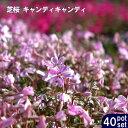 ■送料無料■ 芝桜 ( シバザクラ ) キャンディキャンディ...
