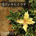 五色柊(ゴシキヒイラギ)ポット苗 生垣 目隠し グランドカバー 庭木 常緑樹