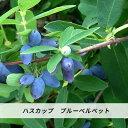 ハスカップ 苗ブルーベルベット 4号 ポット苗 ベリー 果樹苗木