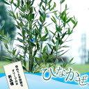 オリーブ 苗木ひなかぜ 3年生 鉢植え 苗 オリーブの木 庭木 常緑樹 シンボルツリー