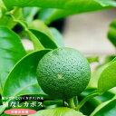 【 種無しカボス 】 1年生 接ぎ木 ポット苗 柑橘 果樹 果樹苗木