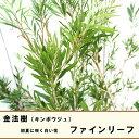 金宝樹(キンポウジュ) ブラシノキ ファインリーフ5号ポット苗 シンボルツリー 庭木 常緑樹