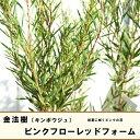 金宝樹(キンポウジュ) ブラシノキピンクフローレッドフォーム5号ポット苗 シンボルツリー 庭木 常緑樹