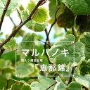 """斑入りマルバノキ""""マルバノキ 恵那錦"""" 庭木 落葉樹 低木"""