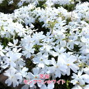 芝桜 ( シバザクラ ) モンブランホワイト 3号ポット苗 宿根草 苗 多年草 耐寒性 常緑 グランドカバー