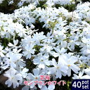 ■送料無料■ 芝桜 ( シバザクラ ) モンブランホワイト 3号ポット苗 40ポットセット 宿根草 苗 多年草 耐寒性 常緑 グランドカバー