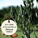 【愛知県産】 オリーブ 苗 苗木 オリーブの木 ネバディエロブロンコ 3年生 地中ポット苗 シンボルツリー 庭木 常緑樹