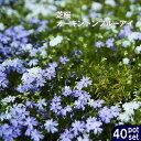 ■送料無料■ 芝桜 ( シバザクラ ) オーキントンブルーアイ 3号ポット苗 40ポットセット 宿根草 苗 多年草 耐寒性 常緑 グランドカバー