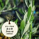 オリーブの苗木 オリーブの木 ルッカ 3年生 ポット苗