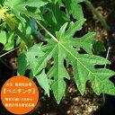 ■沖縄産■ パパイヤ 【ベニテング】 ポット大苗 数量限定品