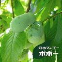 ポポー 苗木 マンゴー 1年生 接ぎ木 苗 果樹 果樹苗木