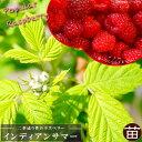 二季なり ラズベリー インディアンサマー ポット苗 果樹苗木 果樹苗 キイチゴ 苗