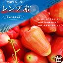 ■沖縄産■レンブ 【赤】7号ポット 大苗