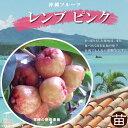 ■沖縄産■レンブ 【ピンク】7号ポット 大苗