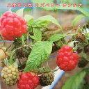 二季なり性 ラズベリー サンタナ ポット苗 果樹苗木 果樹苗 キイチゴ 苗