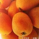 【ビワ苗木】 涼風 ( すずかぜ ) 1年生接ぎ木苗 果樹苗木 枇杷