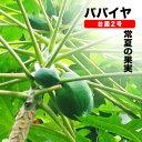 ■沖縄産■パパイヤ 【台農2号】 ポット大苗数量限定品