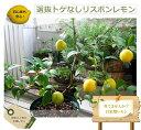 レモンの木 トゲなしリスボンレモン 1年生 接ぎ木 苗 果樹苗 果樹苗木 柑橘