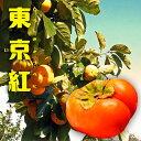 【 柿 苗木 :完全甘柿】 東京紅 (トウキョウベニ) 1年生 接ぎ木苗 果樹