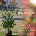 【本物のクリスマスツリー】 もみの木 ウラジロモミ 1.1m...