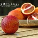 YDブラッドオレンジ タロッコ 1年生 接ぎ木 苗