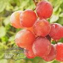 【 ブドウ 苗木 】 安芸クイーン ウィルスフリー 1年生 接ぎ木 苗 ぶどう