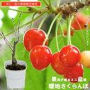 今年実がなるサクランボ 【暖地さくらんぼ】 白鉢苗 1本で実がなる。