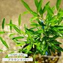 【ブラウンリバー】 フィンガーライム 果肉:黄緑 1年生 接ぎ木苗