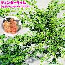 【フィンガーライム 苗木】 「ジュディーズエバーベアリング」 果皮:黒 果肉:黄実 2年生 接ぎ木苗