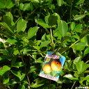 熱帯果樹 グァバ ポット苗 果樹苗木 果樹苗 南国 【珍しい熱帯果樹】