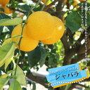 香酸ミカン ジャバラ (じゃばら) 2年生 接ぎ木 苗 果樹 柑橘