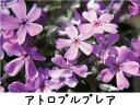 芝桜 ( シバザクラ ) アトロプルプレア 3号ポット苗 宿根草 苗 多年草 耐寒性 常緑 グランドカバー