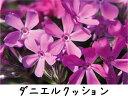 芝桜 ( シバザクラ ) ダニエルクッション 3号ポット苗 宿根草 苗 多年草 耐寒性 常緑 グランドカバー
