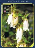 宿根草 苗 多年草 耐寒性 イングリッシュガーデン日陰の庭のボーダーに最適カンパニュラ ( ベルフラワー ) 竹島 ( 白 ) ポット苗 宿根草 苗 多年草 耐寒性 日陰