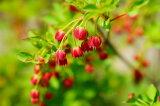幼苗根系缠绕吊钟吸引力的红叶和红色的花是相当红染色[紅ドウダンツツジ根巻き苗 庭木 落葉樹 生垣 目隠し 低木]
