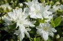 クルメツツジ (久留米つつじ) 暮れの雪(クレノユキ) 4号ポット苗 庭木 常緑樹 グランドカバー 低木
