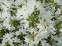 クルメツツジ (久留米つつじ) 白雪 4号ポット苗 庭木 常緑樹 グランドカバー 低木