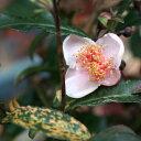 お茶の木 苗 紅花 斑入り (ベニバナチャノキ)ポット苗 低木 庭木 常緑樹