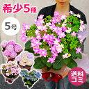 母の日 アジサイの鉢植えを。ダンスパーティーやカメレオン 5号鉢紫陽花(あじさい)のプレゼント ギフトをお母さん、お…