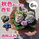 色が変わる!秋色あじさい・西安ピンク/西安ブルー(シーアン)等 6号 鉢(鉢植え)母の日のプレゼント