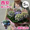 色が変わる!秋色あじさい・西安ピンク/西安ブルー(シーアン) 5号 鉢(鉢植え)母の日のプレゼントに