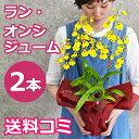 オンシジュームの鉢植え2本立(花鉢 鉢花)ギフト プレゼントに 蘭 オンシジウムを誕生日 開店祝いに 送料無料